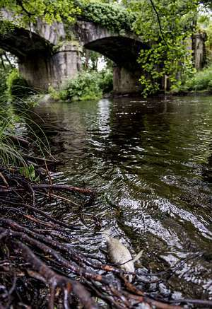 Mortandad peces río Cabe
